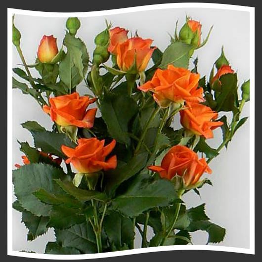сорта роз с знаком