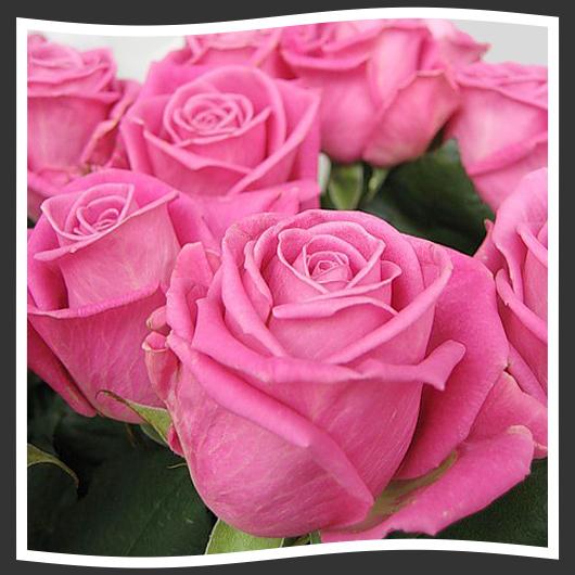 ревиваль роза фото